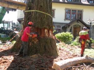 Séquoia-avril-2011-025